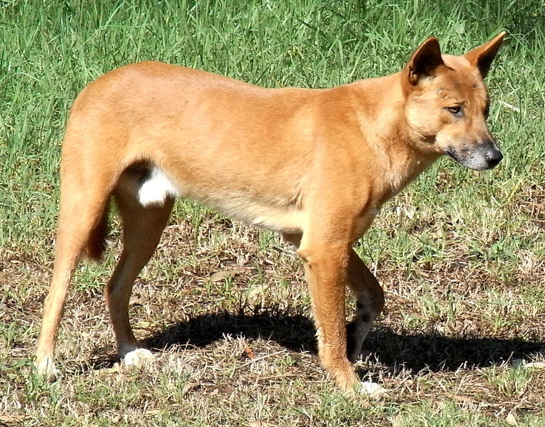 Cute australian animals - dingo