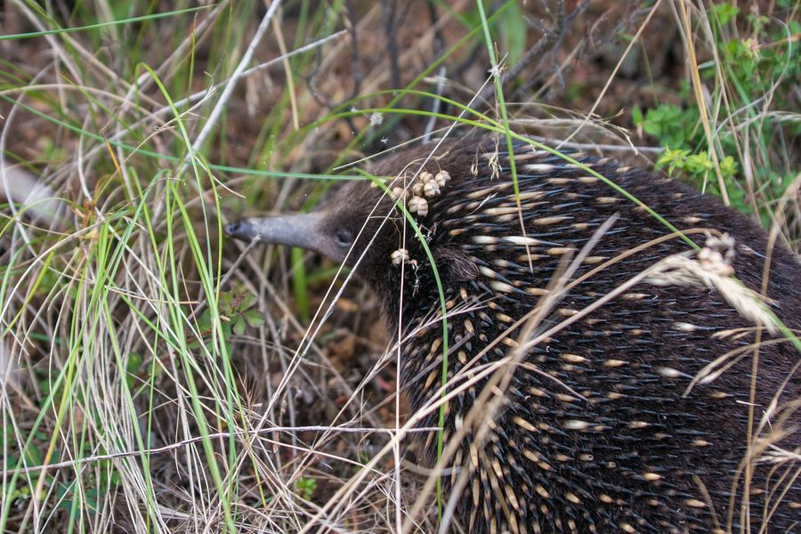 cute australian animals - echidna
