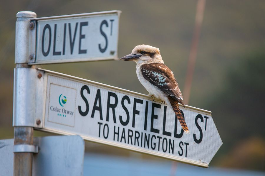 cute australian animals - kookaburra