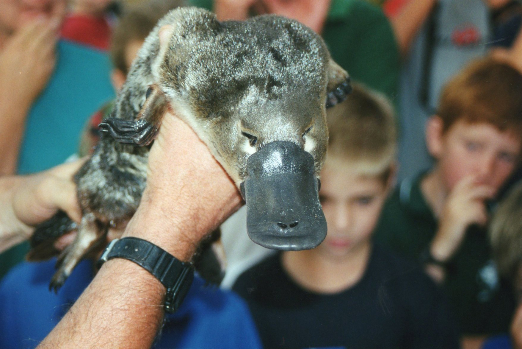 cute australian animals - platypus